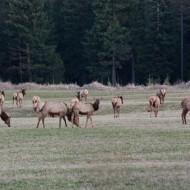 Elk In Our Field  {Video}